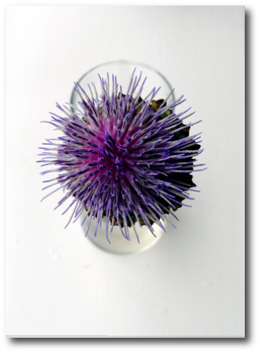 thistle against a white background